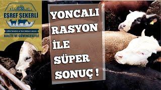 İthal danalar bol Yoncalı Rasyon ile mükemmel kilo alıyor