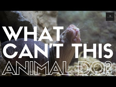 Can Survive Without Oxygen, Cancer Resistant, And Feels No Pain? What Can't This Animal Do?