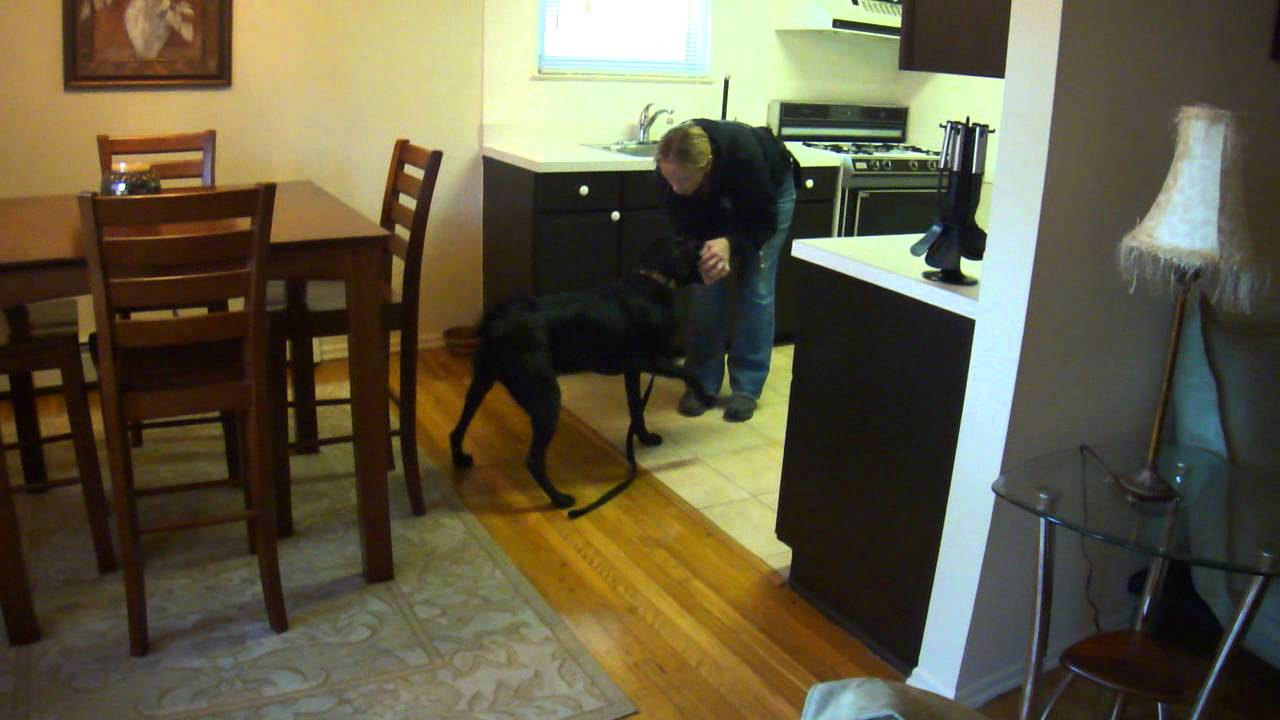 Using A Trained Dog To Detect Bed Bugs Youtube
