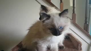 FOR SALE MUDPIE'S KITTENS 9 WEEKS OLD SEPTEMBER 27, 2019- A Ragdoll To Love Cattery