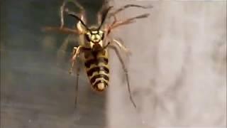 frelon contre 2 araignée