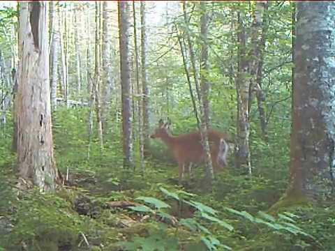 Two Wet Deer - New Hampshire