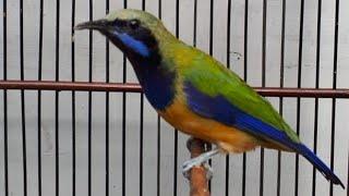 Suara Cucak Cungkok GACOR Paling DiCari Untuk Dijadikan MASTERAN Burung Anakan Atau BAHAN / Bakalan