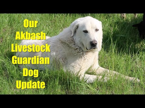 Update on Our Akbash Livestock Guardian Dog