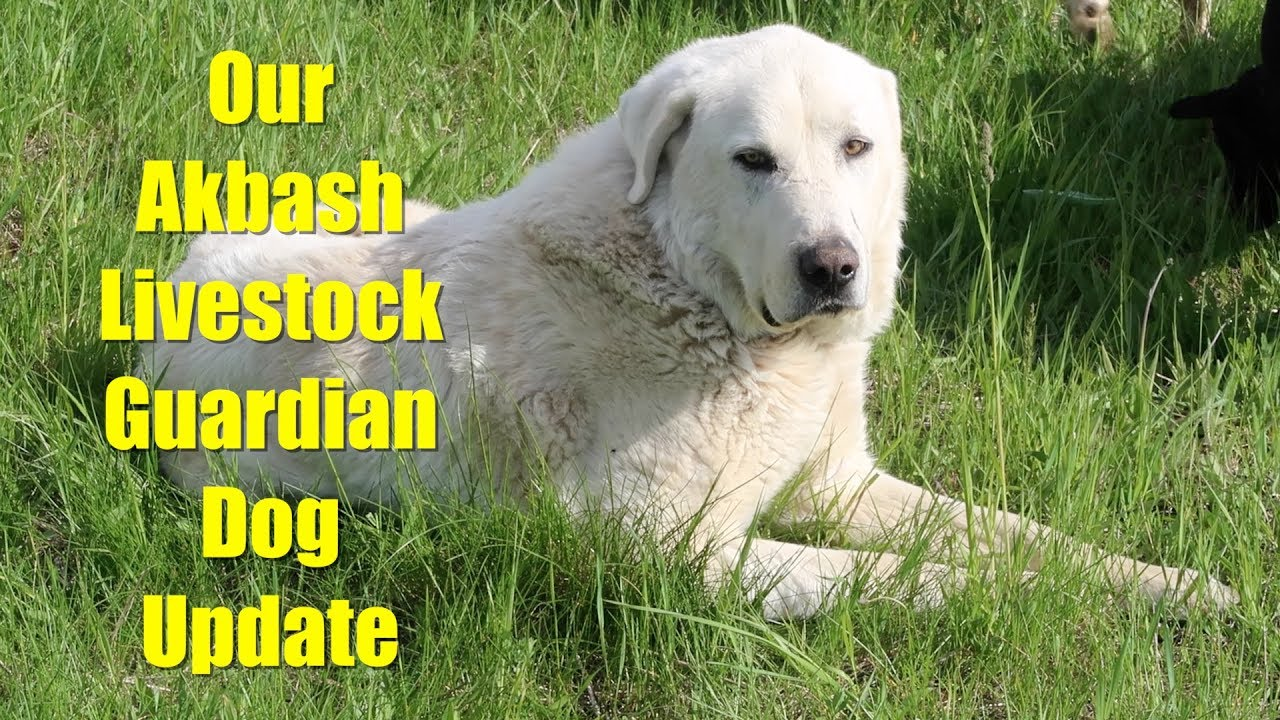 Update On Our Akbash Livestock Guardian Dog Youtube