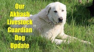 Update on Our Akbash Livestock Guardian Dog