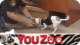 Kleinster Polizeihund der Welt I Mini Polizeihund I süßester Polizeihund