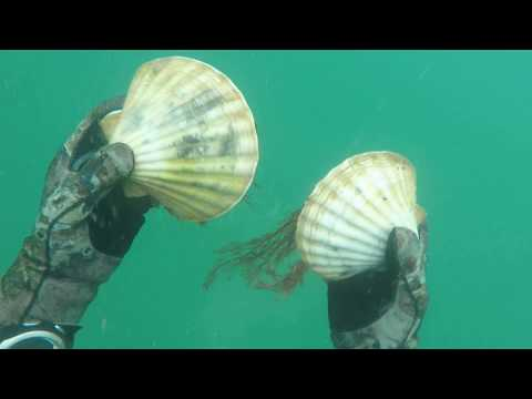 Guernsey scalloping  July 2017