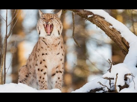 Wildlife Balkan - Life of Predators In Forest (Nat Geo Wild)