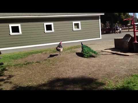 Peacock fighting a turkey