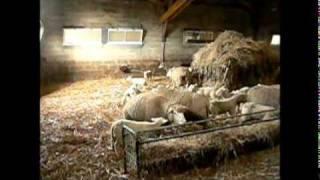 agneaux de bergerie chez Pascal