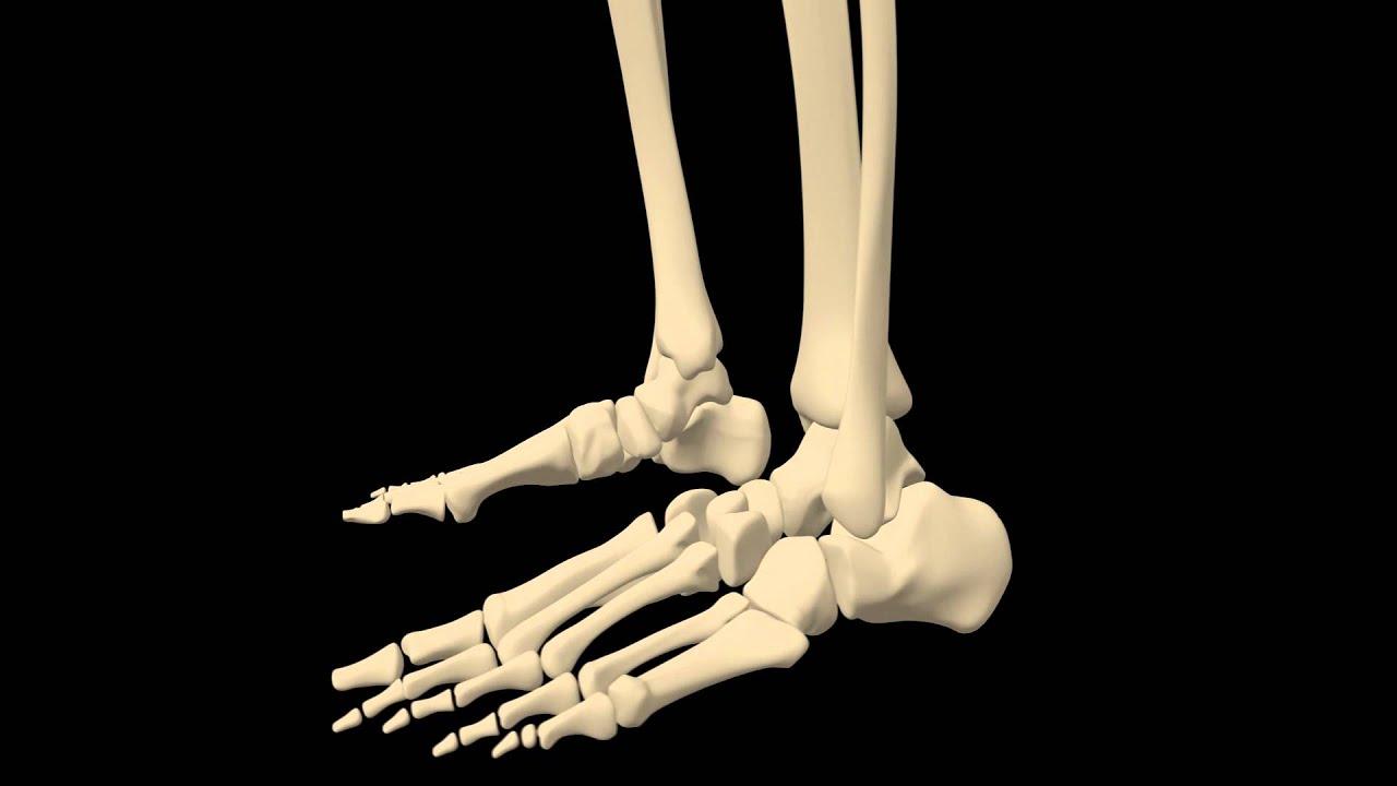 royalty free medical human skeleton hd footage - foot close up, Skeleton