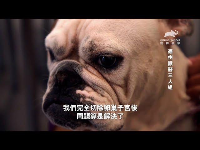 《德州獸醫三人組》雞眼上開刀?狗狗也會得乳癌?動物們的忍耐能力令人心疼|動物星球頻道