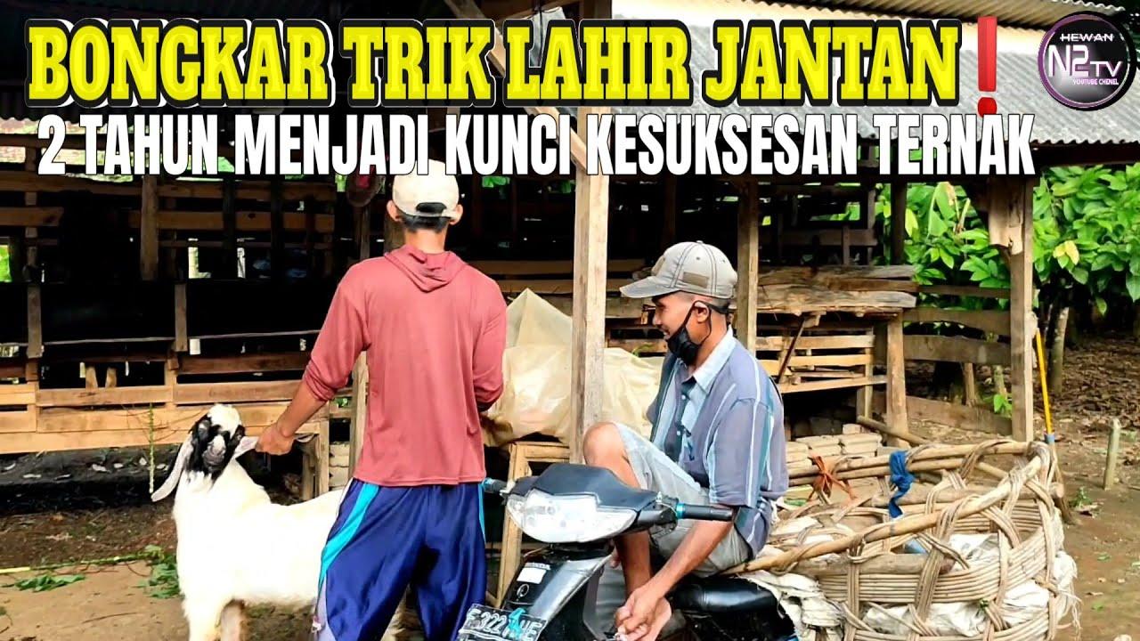 Selama 2 Tahun, Selalu Lahir Jantan || Kelebihan Ternak Kambing Jawa Randu