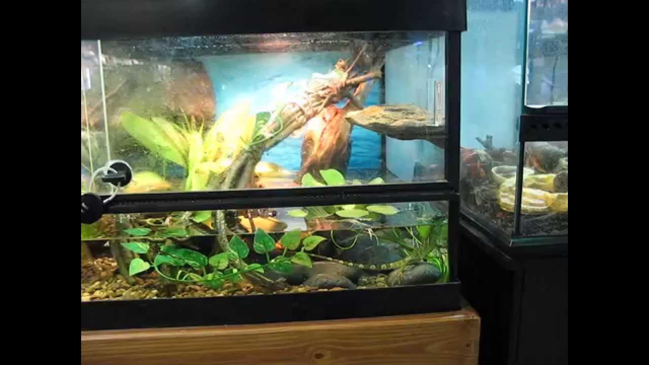 Archer Fish Tank | Archer Fish Biotope Youtube