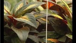 Growing Hanging Basket Plants : Growing New Guinea Impatiens