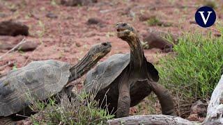 Liberan centenares de tortugas gigantes en las Islas Galápagos