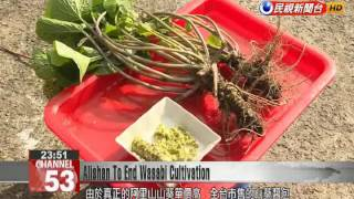 Japanese horseradish cultivation will soon be banned in Alishan