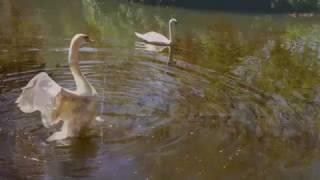 Video FALL AT CHATEAU MONTELENA - SWAN LAKE - CALISTOGA - ERNESTO CORTAZAR - AMAZED BY BEAUTY download MP3, 3GP, MP4, WEBM, AVI, FLV Agustus 2018