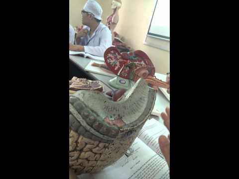 [Giải Phẫu] hệ tiêu hóa- Ruột non, ruột già