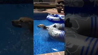Dogs Having Fun in the Pool | Look What Happens When Dog Swims | The Animal Planet