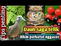 Manfaat Daun Saga Untuk Burung Perkutut Tips Penting  Mp3 - Mp4 Download