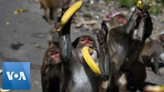Coronavirus: Monkeys, Dogs, Cows Roam India's Streets