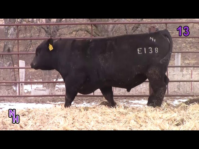 New Haven Angus Lot 13