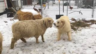 Great Pyrenees Meeting sheep for first time