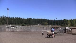 Miss Shasta At Herd Dog Training, Sept 2014