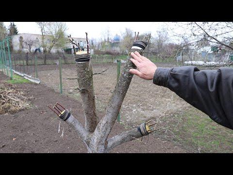 Как прививать плодовые деревья | Уход за прививками