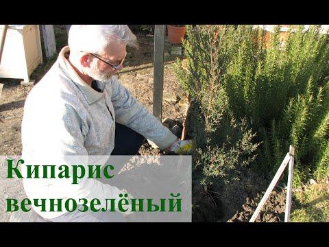 Кипарис вечнозелёный в #Запорожье. Усложняю условия
