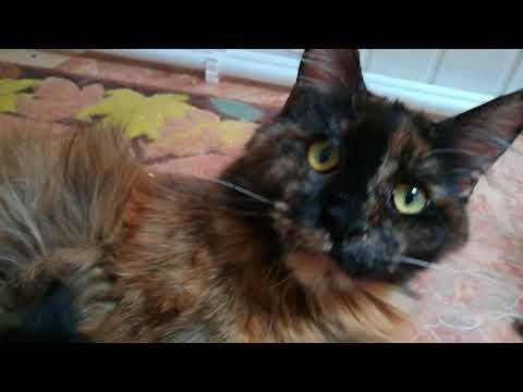 Смотреть видео котята мейн-кун из питомника | Купить котенка мейн-кун