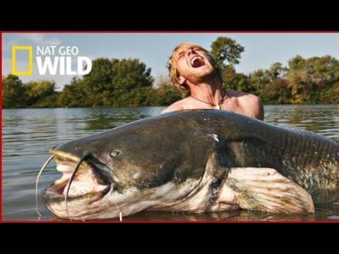National Geographic Documentary Wild - Catfish Attack - Nat Geo WILD HD 1080p
