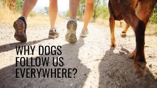 Why Dogs Follow Us Everywhere?