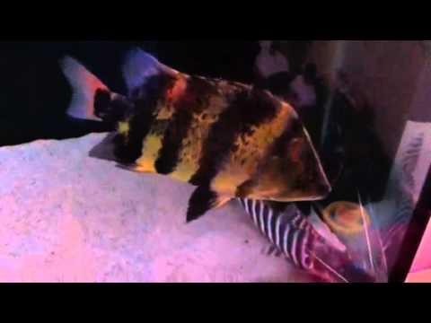 New Guinea Tiger Fish