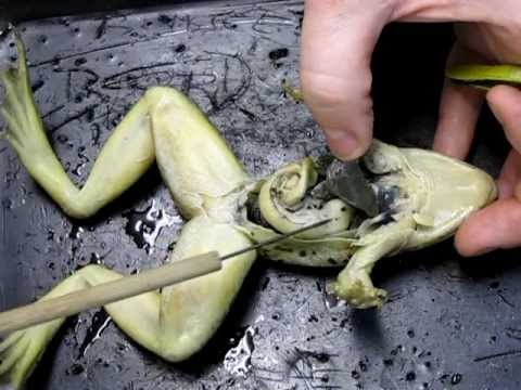 Frog Anatomy Part 2 Internal Youtube