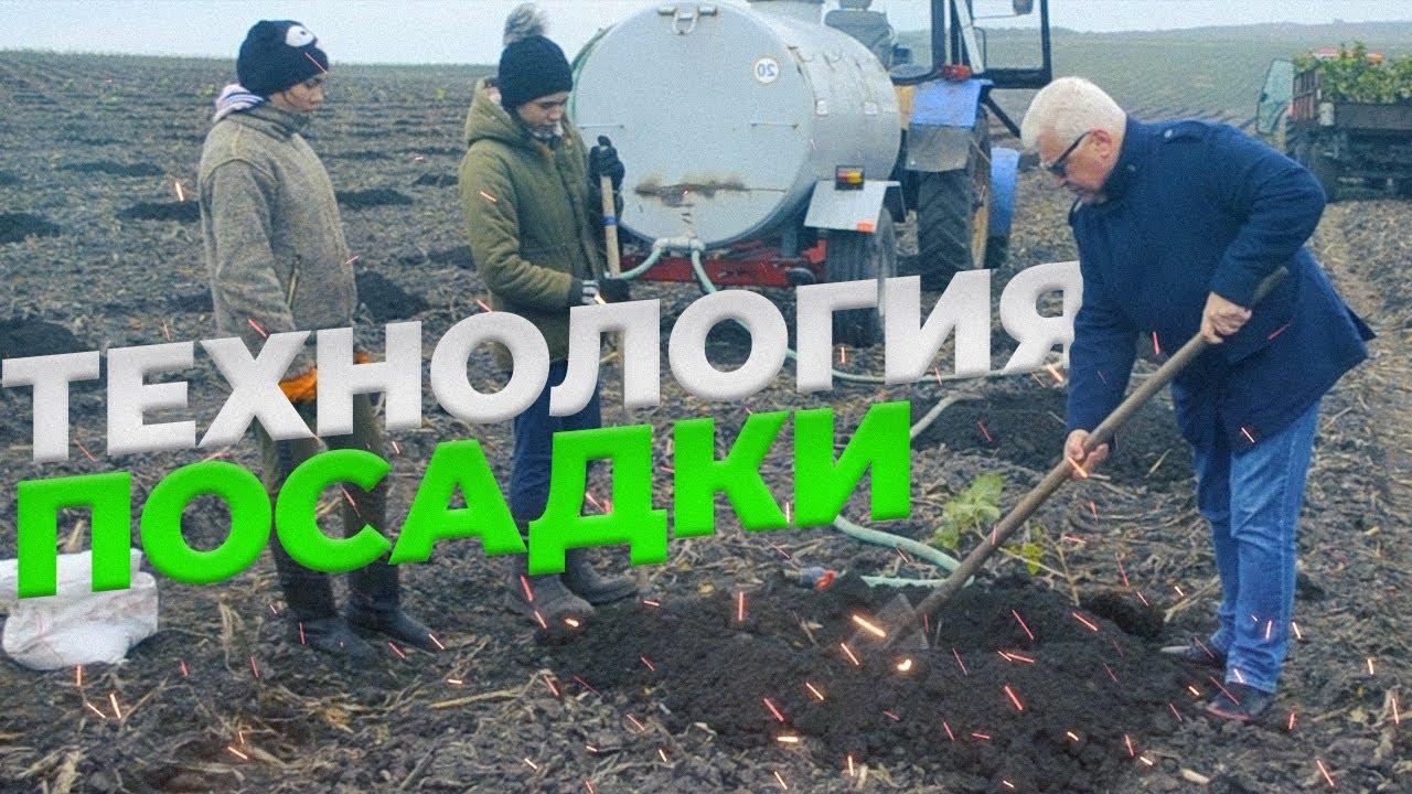 Технология посадки фундука // Сад акционера компании Hazelnurse площадью 60 Га // Стадия посадки