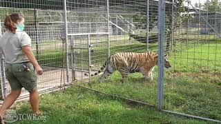 Shasta Tiger at Turpentine Creek Got a Health Checkup And A New Habitat