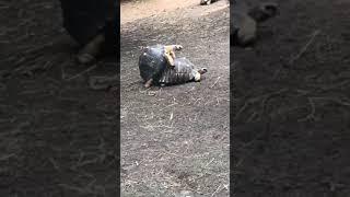 Turtles Making Love