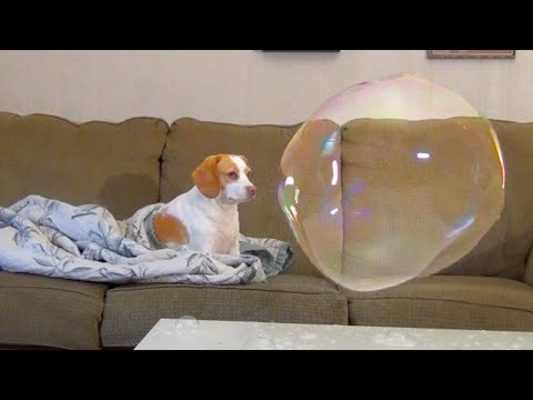 Dog Not Scared of Bubble: Penny Snores & Does Funny Things