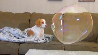 おとぼけ犬ペニー、巨大シャボン玉を前にしても動じず