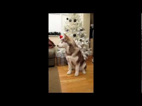 Alaskan Malamute Puppy's Tricks for Christmas