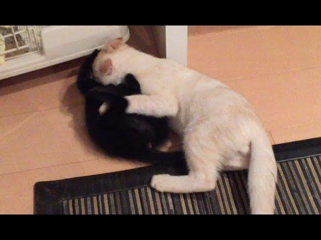 【閲覧注意】赤ちゃん猫を襲う子猫