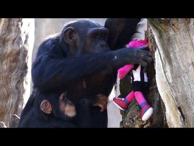 Шимпанзе зоопарка в Валенсии получила в подарок игрушку. Она очень обрадовалась