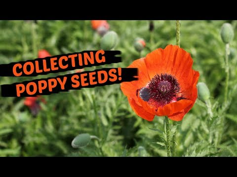How To Collect Poppy Seeds The Easiest Method Youtube