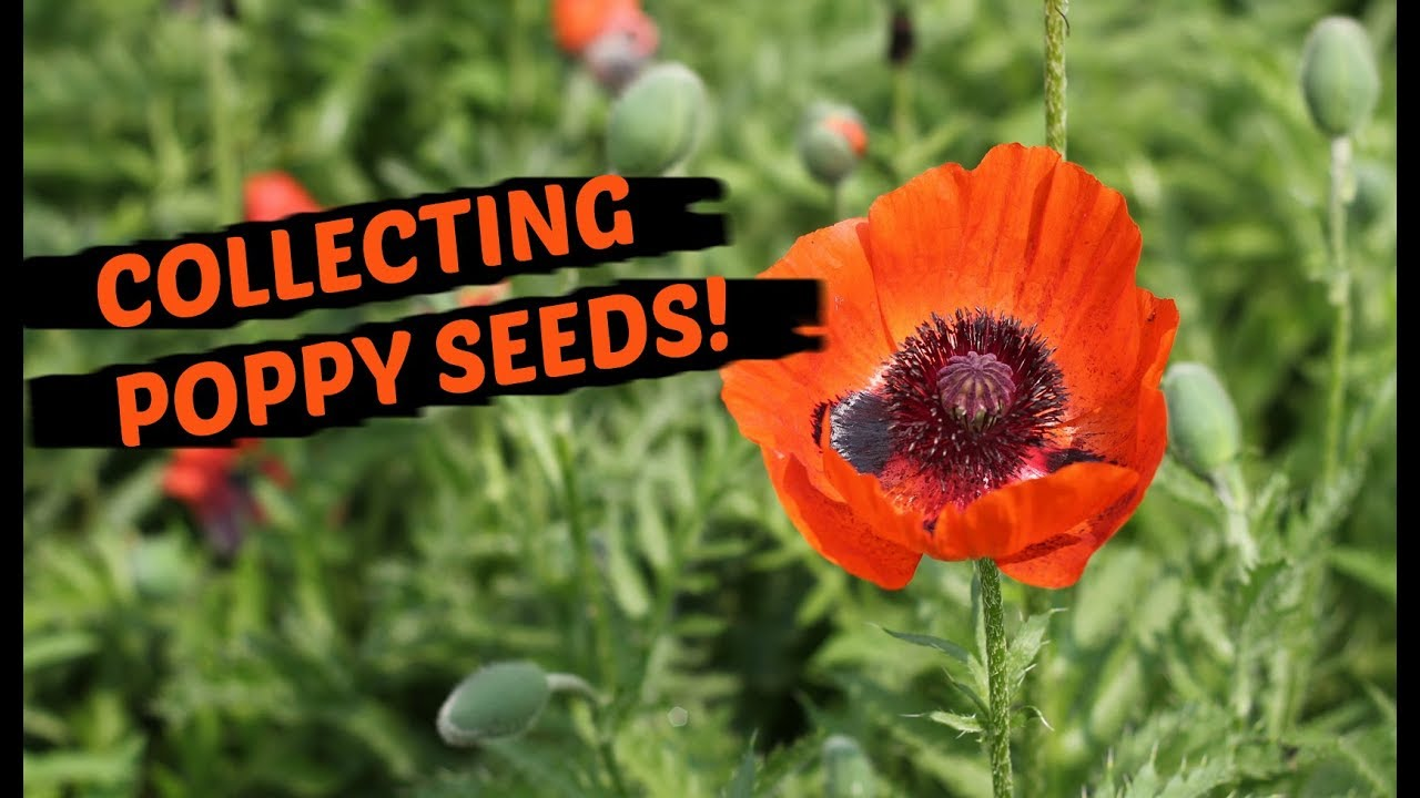 How to collect poppy seeds the easiest method youtube how to collect poppy seeds the easiest method mightylinksfo