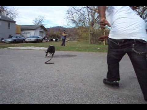 pitbull protection (West Virginia)