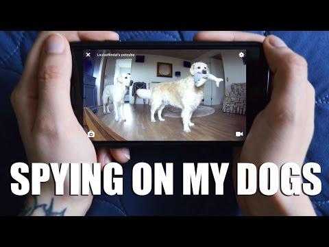 Spying on my Golden Retrievers | Petcube Play