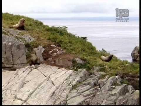 Steller Sea Lions In Jeopardy